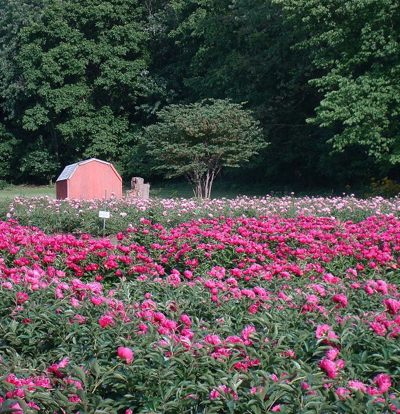 Fragrant Farms Field of Peonies
